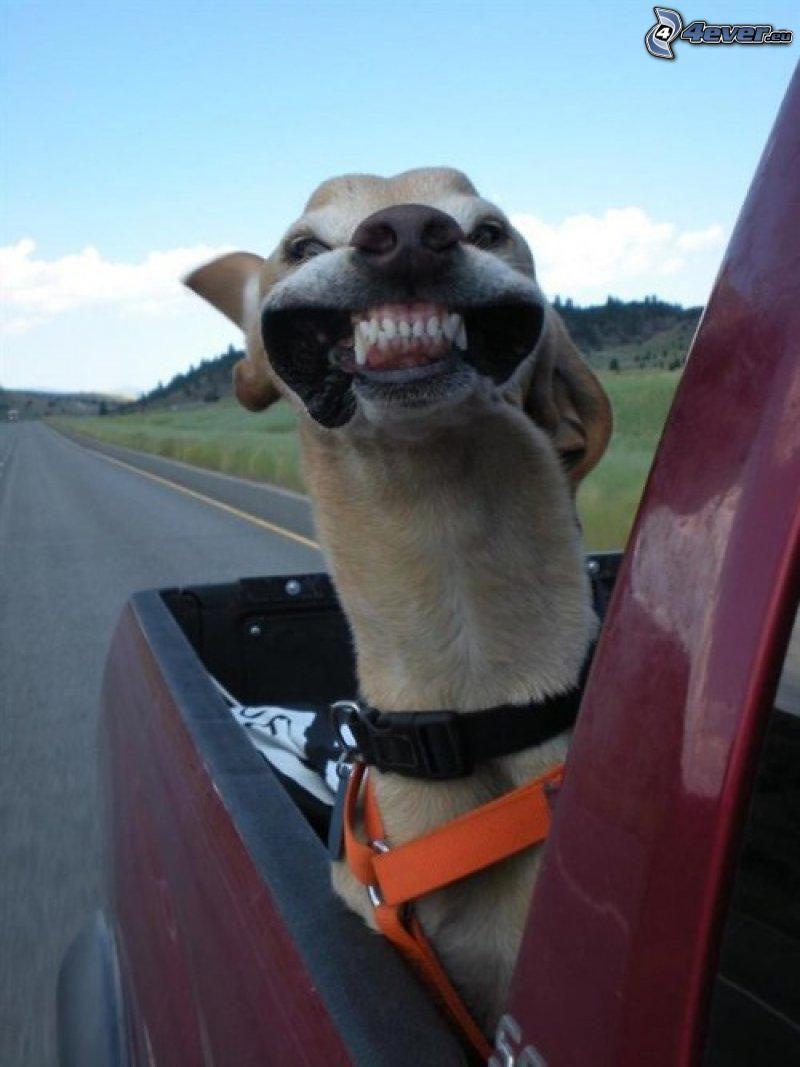 wiatr, pies, zęby
