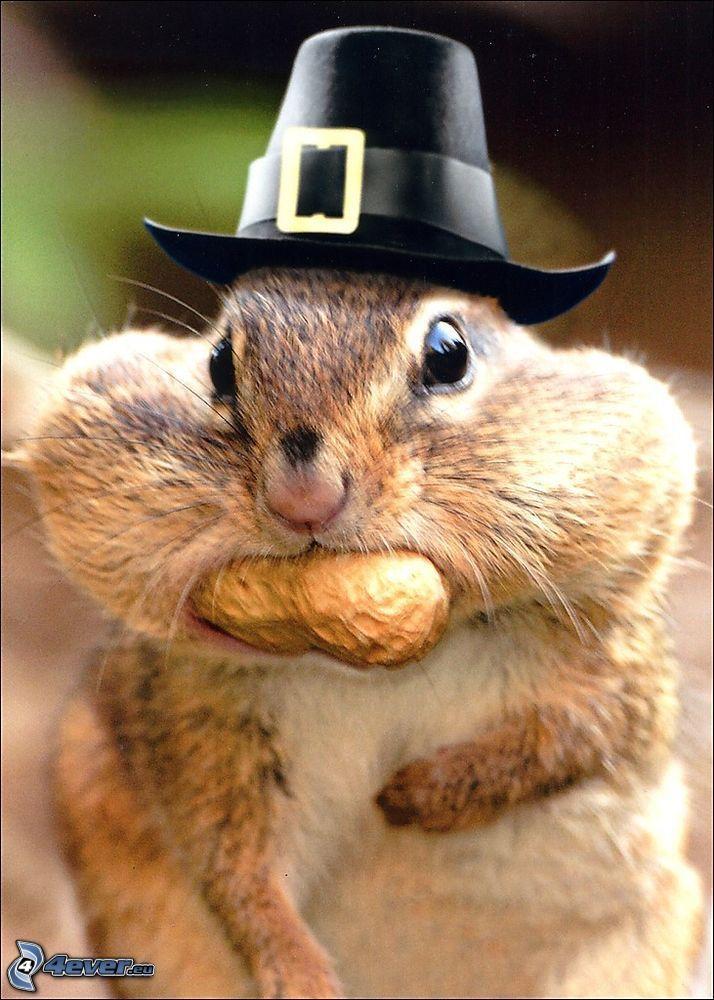 wiewiórka, orzeszki ziemne, kapelusz