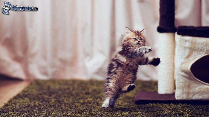 włochaty kotek, akrobacje