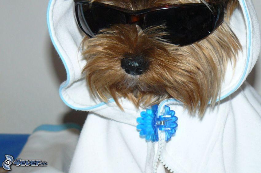 Yorkshire Terrier, rapper, pies w okularach