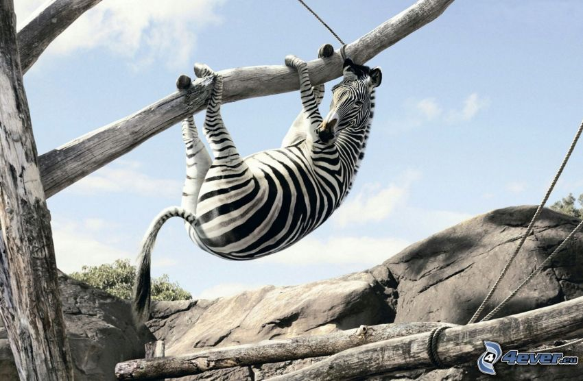 zebra na drzewie