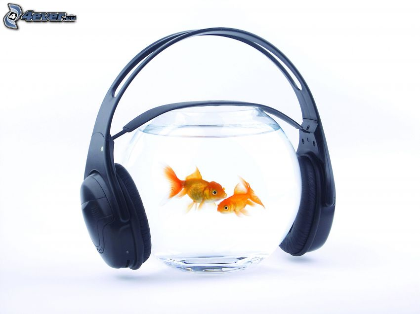 złota rybka, akwarium, słuchawki