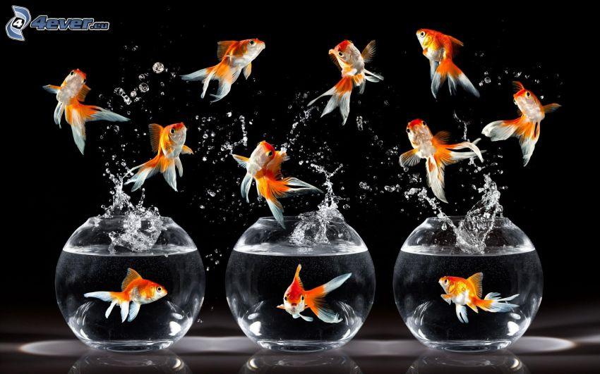 złota rybka, akwarium, woda, plusk