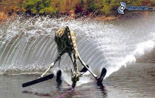 żyrafa, narty wodne