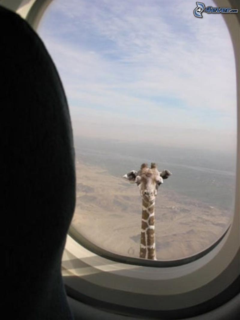 żyrafa w oknie, samolot