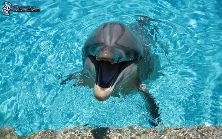 delfin, niebieska woda