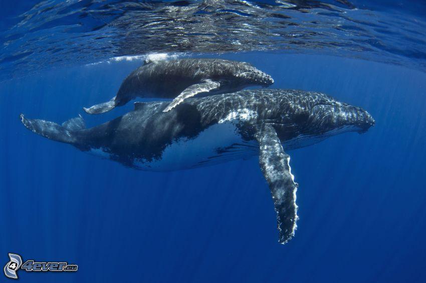 garbus wieloryb, młode