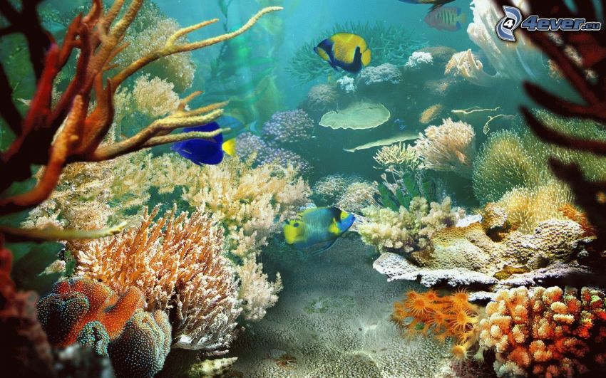 kolorowe ryby, koralowce