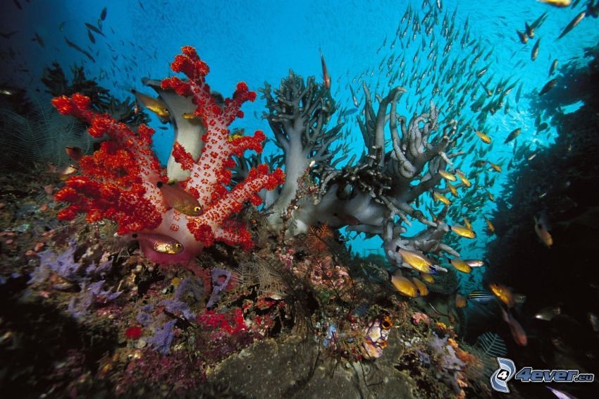koralowce, morskie dno, koralowe ryby