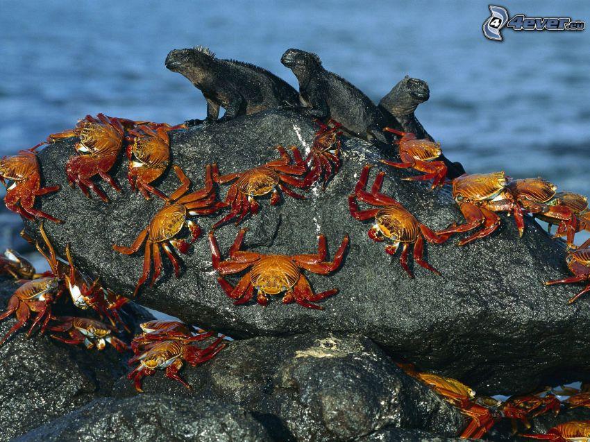 kraby, jaszczury