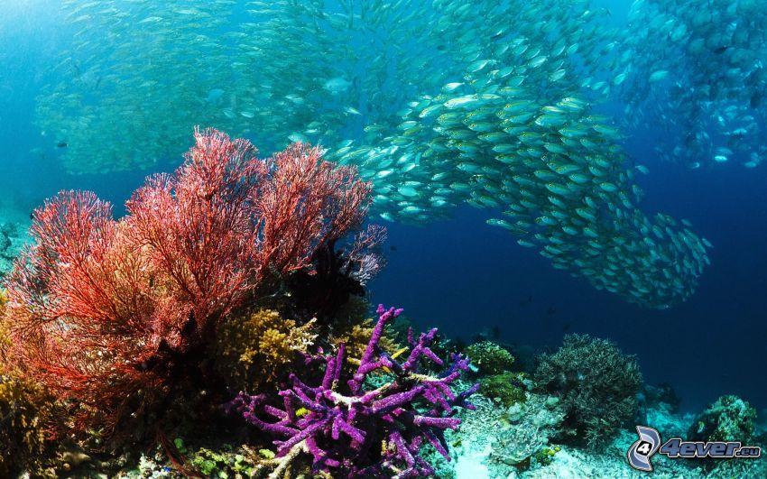 ławica ryb, ryby, morskie dno, koralowce