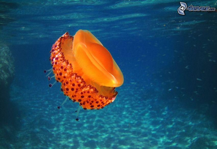 meduza, niebieska woda