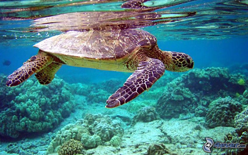 morski żółw, koralowce, woda