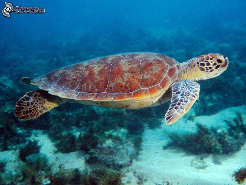 morski żółw, woda, koralowce