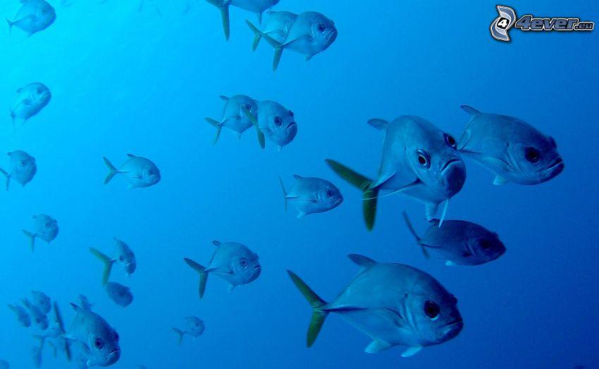 piranie, ławica ryb