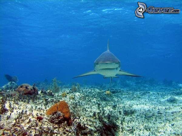 rekin, morze