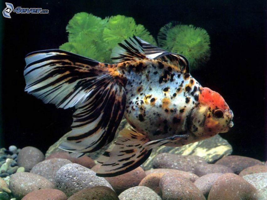 ryba, kamienie