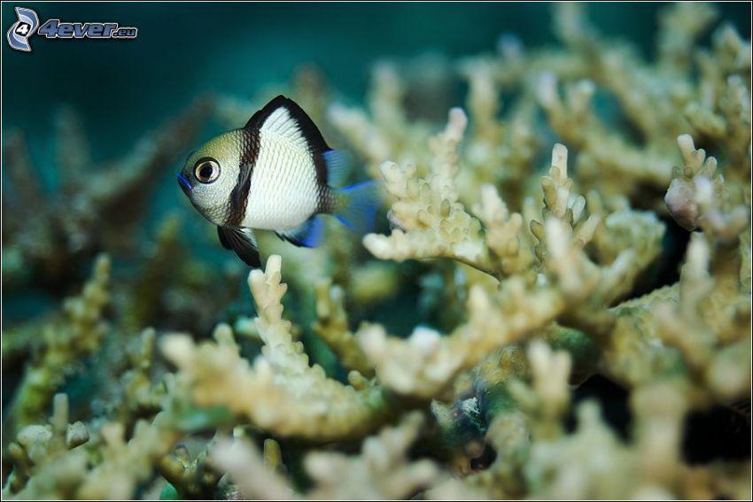 ryba, koralowce