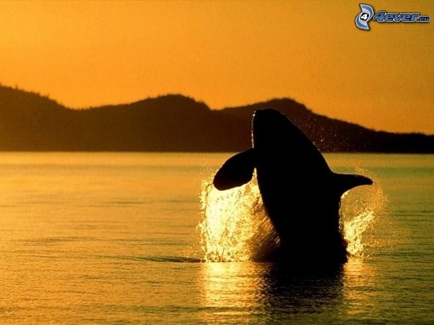 ryba, ssak, orka, morze