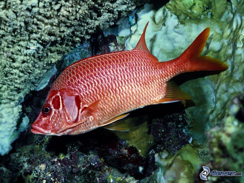 ryba koralowa, koralowce, morze