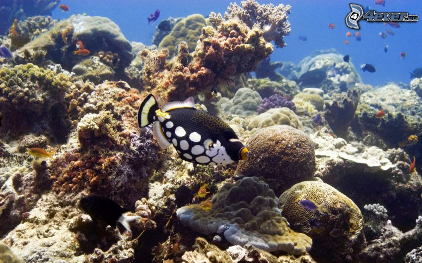 ryba koralowa, koralowce