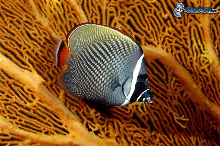 ryba koralowa