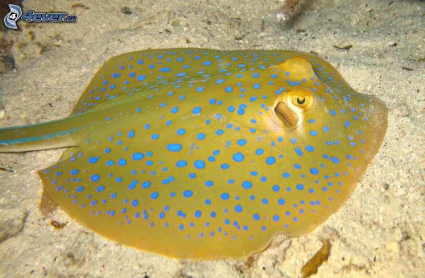ryba płaszczkowata, piasek