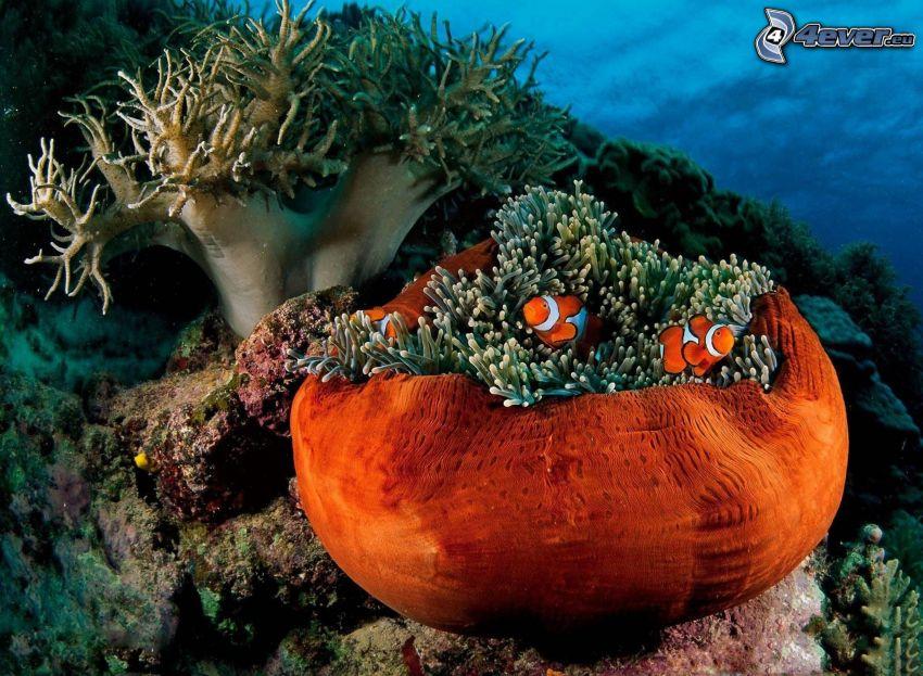 rybka klaun, sasanki