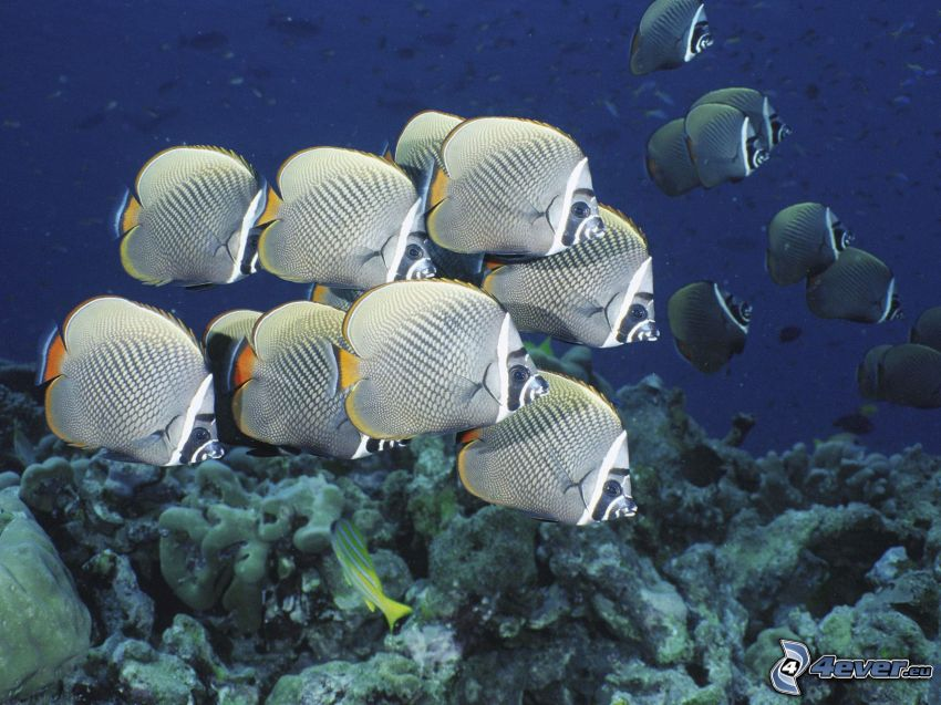 ryby, koralowce