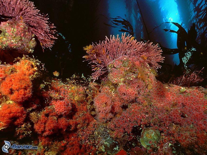 sasanki, koralowce