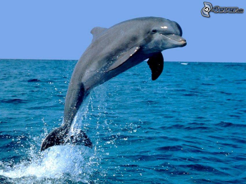 skaczący delfin