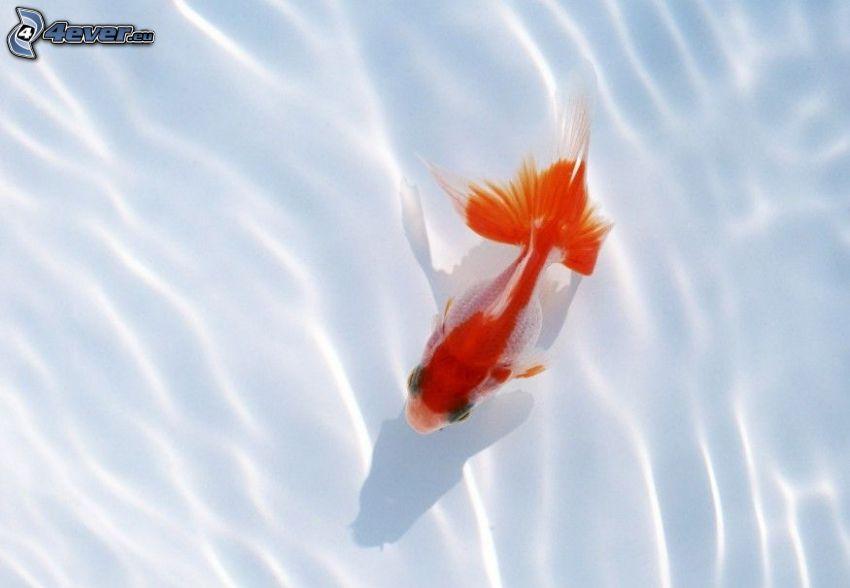 złota rybka, woda