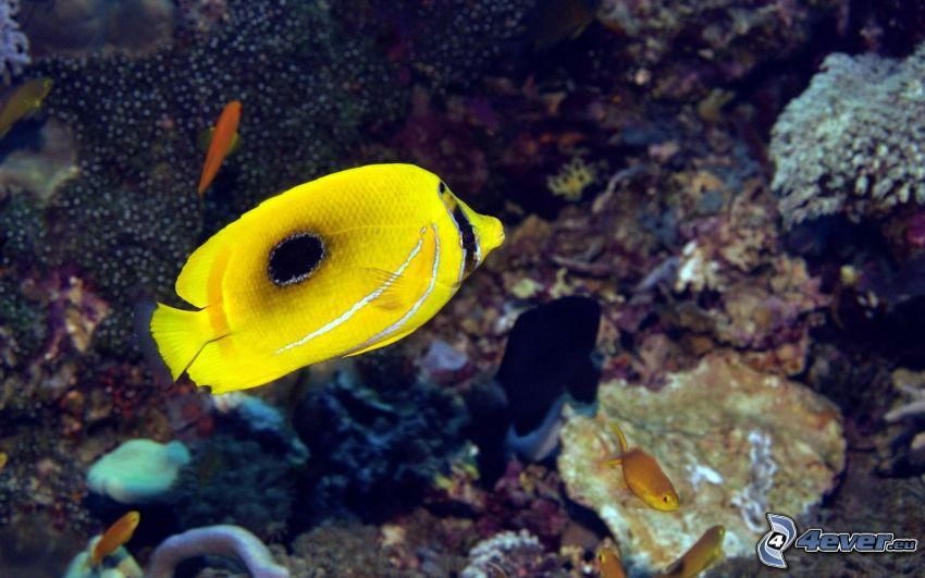 żółta ryba, koralowce