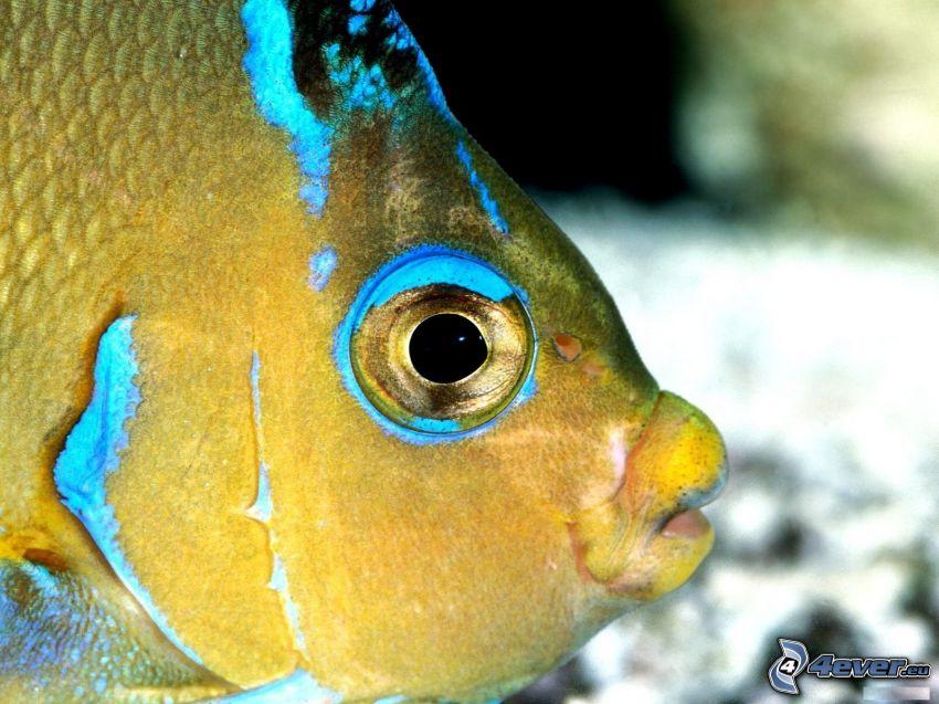 żółta ryba