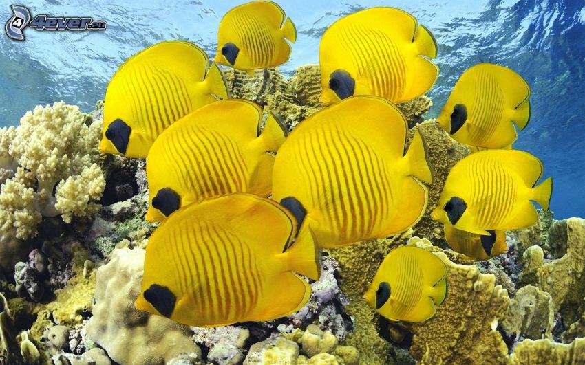 żółte ryby, koralowce, woda