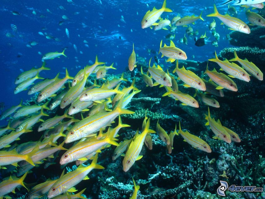 żółte ryby, koralowce