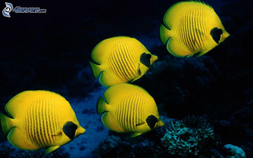 żółte ryby, koralowe ryby