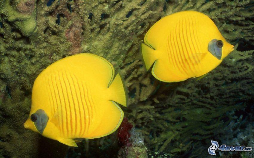 żółte ryby