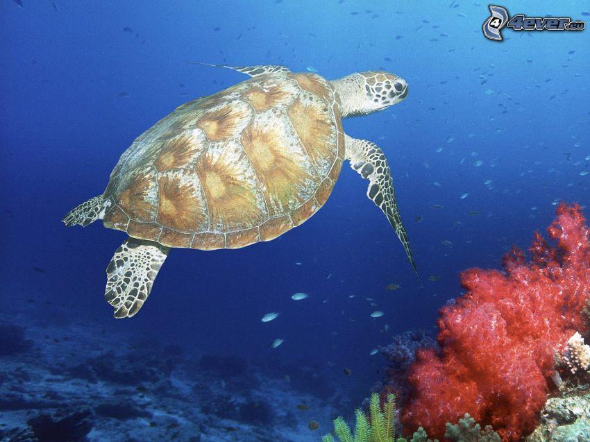 żółw, koralowce, morze