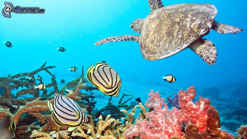 żółw, koralowe ryby, koralowce