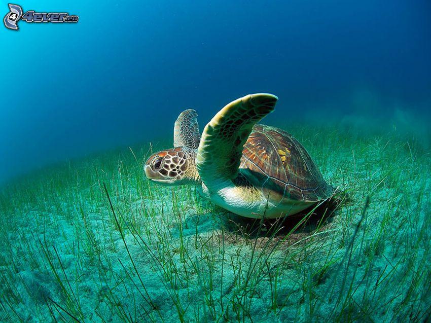żółw, morskie dno, morze