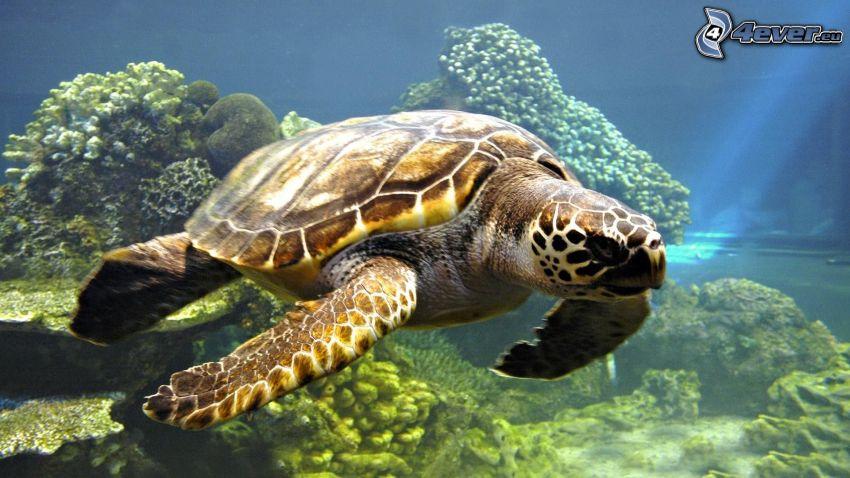 żółw, morskie dno