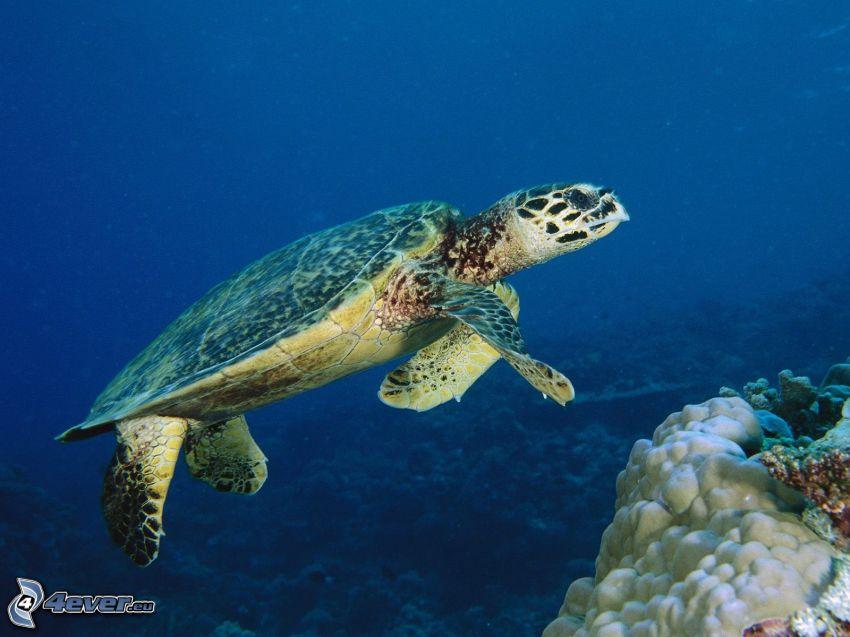 żółw, morze, koralowce