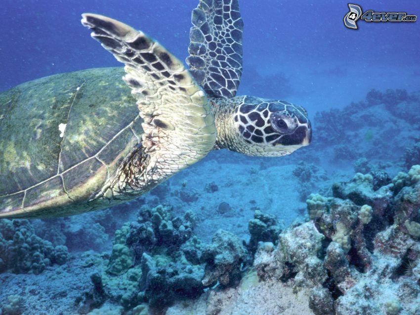 żółw, morze koralowe