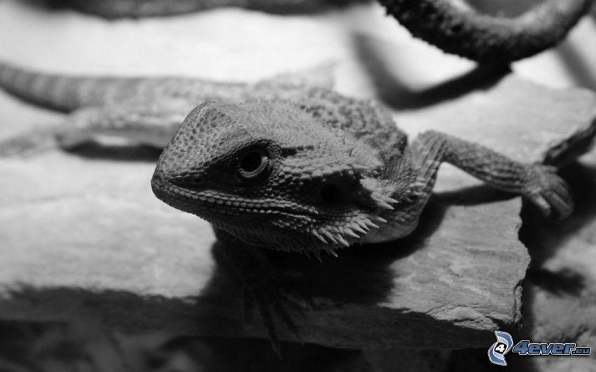 Agama, czarno-białe zdjęcie
