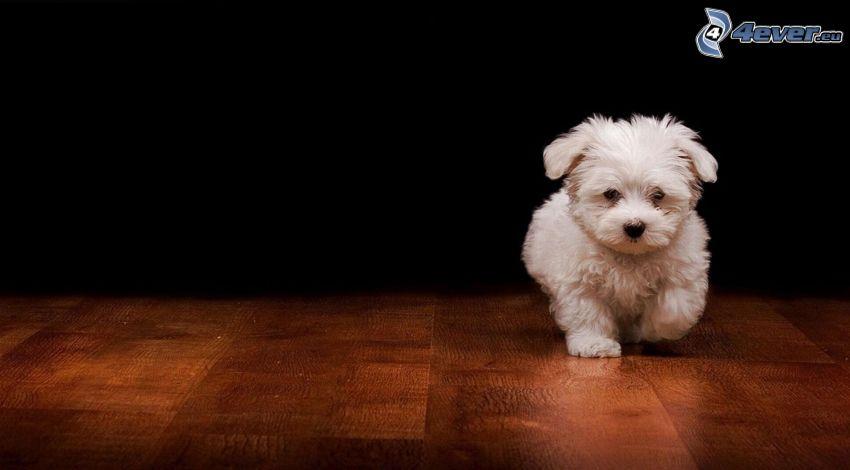 białe szczenię, podłoga, chód