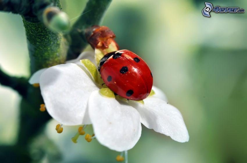 biedronka na liściu, kwitnące gałązki