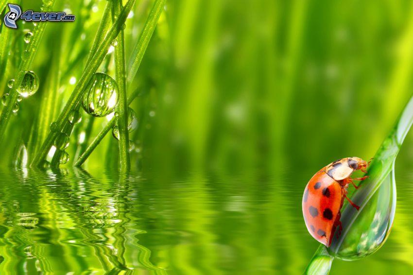 biedronka na liściu, trawa, krople wody, woda