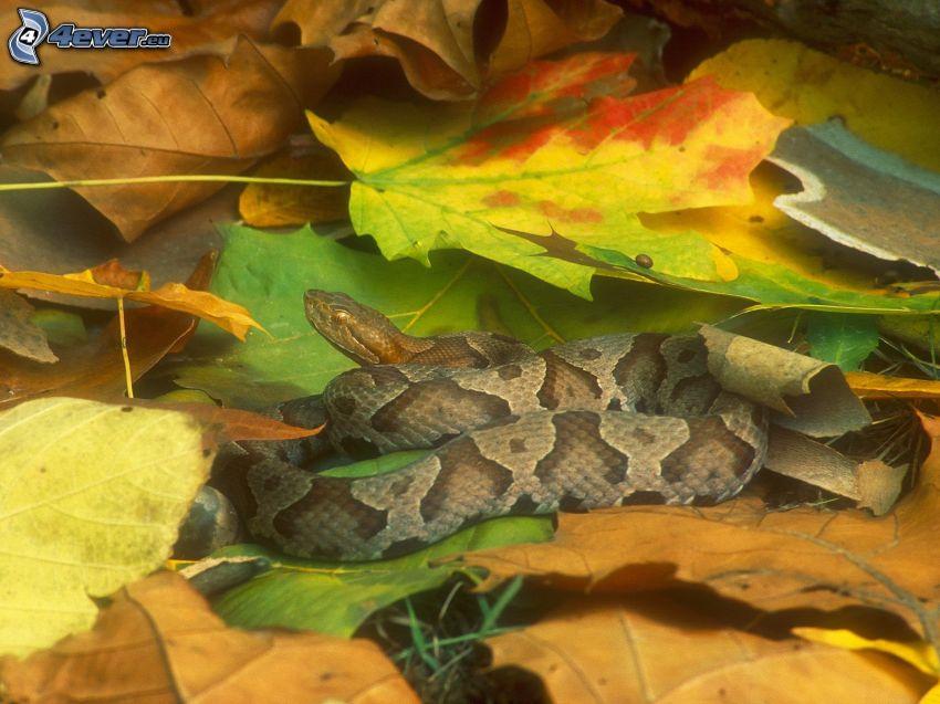brązowy wąż, jesienne liście, kolorowe liście
