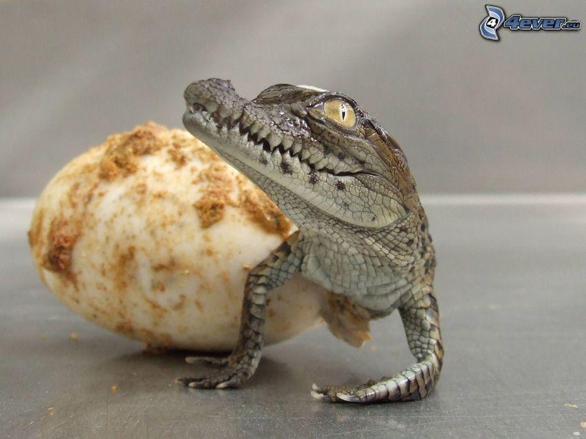 aligator, młode, jajko